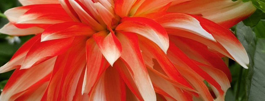 A photo of a red and white coloured dahlia flower