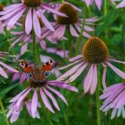 Bees and Butterfly on purple flowers