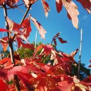 Photo of Acer griseum in West Sussex