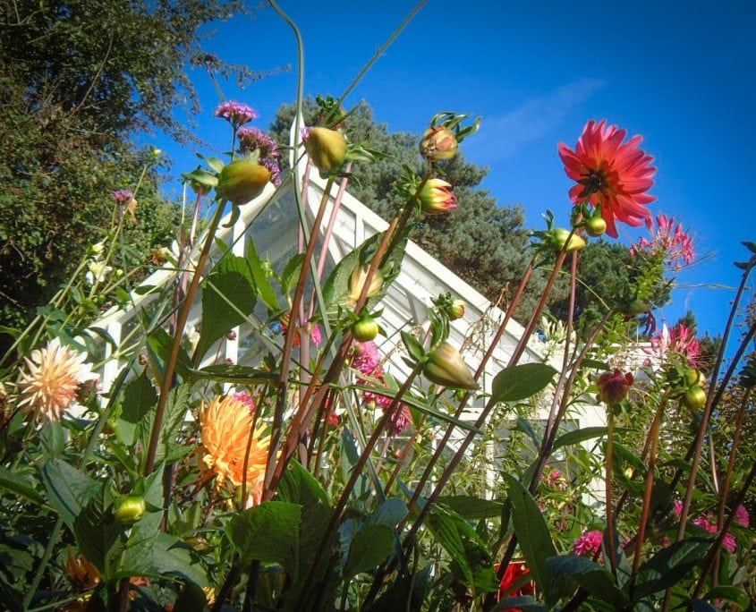 Photo of Dahlia flowers and greenhouse in west sussex
