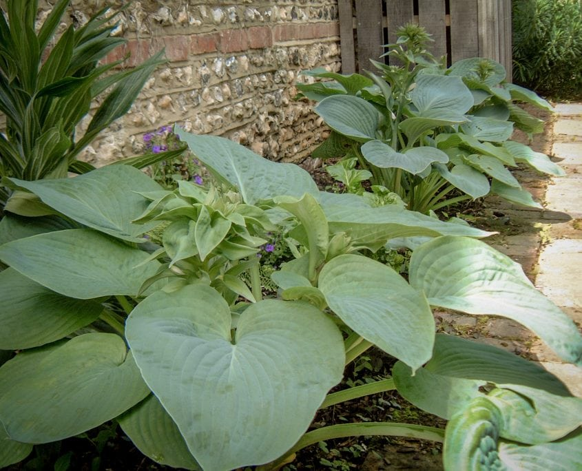 Photo of hostas in courtyard garden petersfield