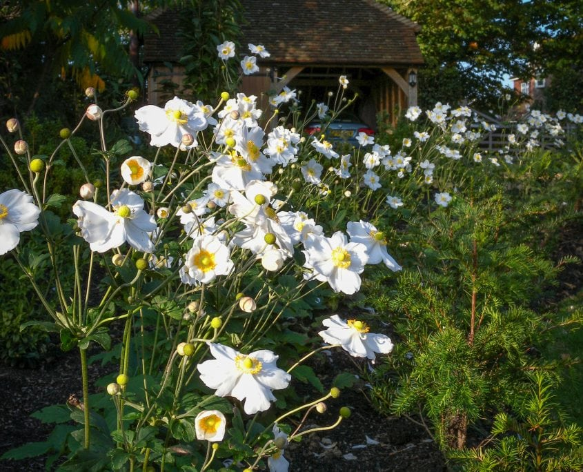 Photo of english front garden with anenome in Sussex