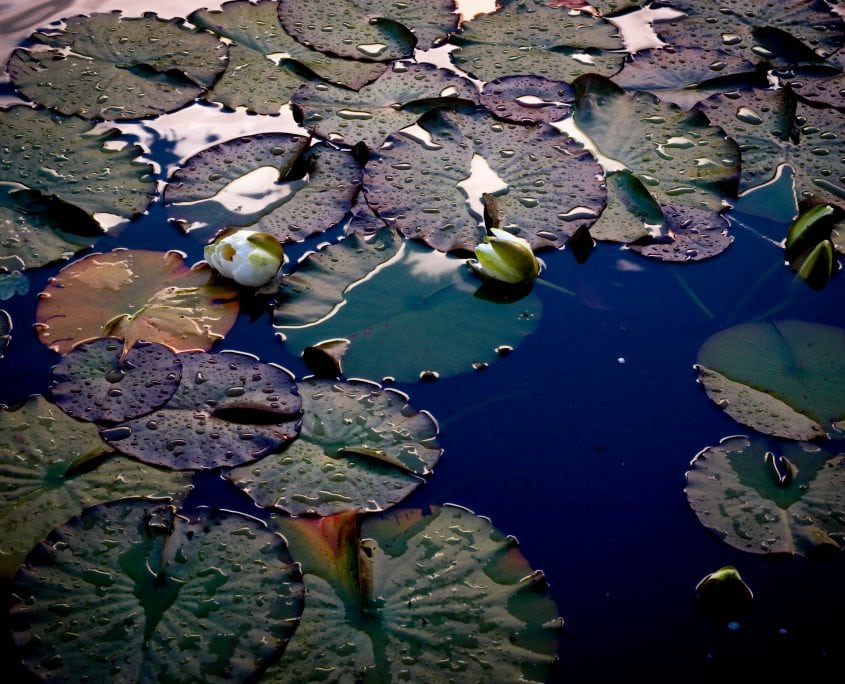 Photo of garden pond with water lilies in Sussex