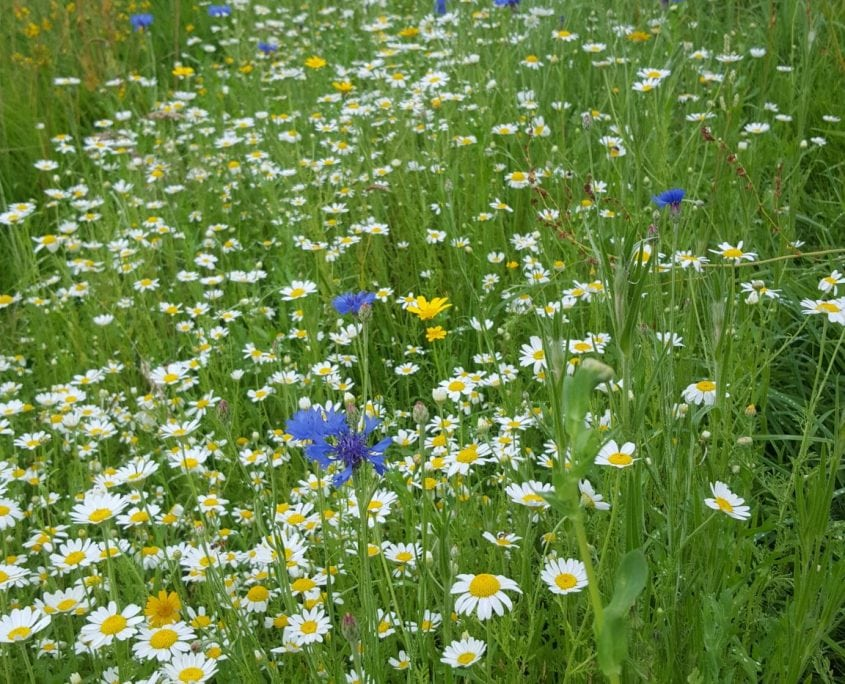 Photo of wildflower meadow east sussex