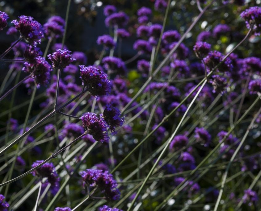 Photo of west sussex contemporary coastal garden design with verbena bonariensis