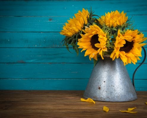 A photo of Sunflowers arranged in a metal container against a vibrant blue painted timber backdrop