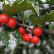 Holly with red berries christmas decoration