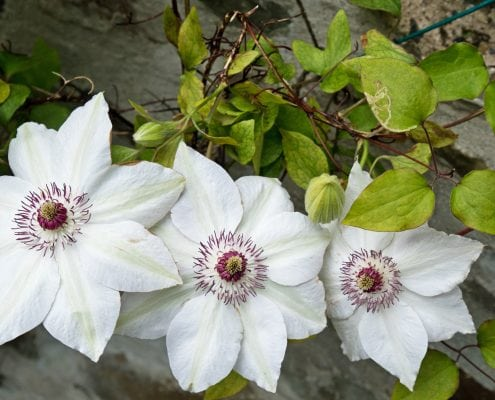 Clematis flowers ( Miss Bateman ) in an English garden in the early summer