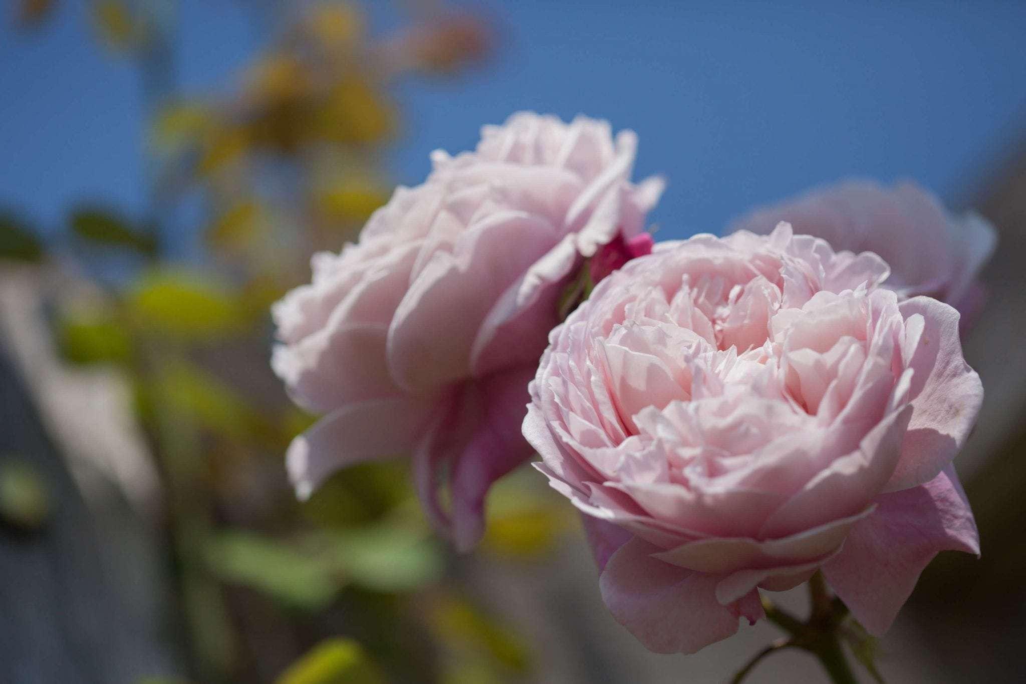 A Birdham Rose