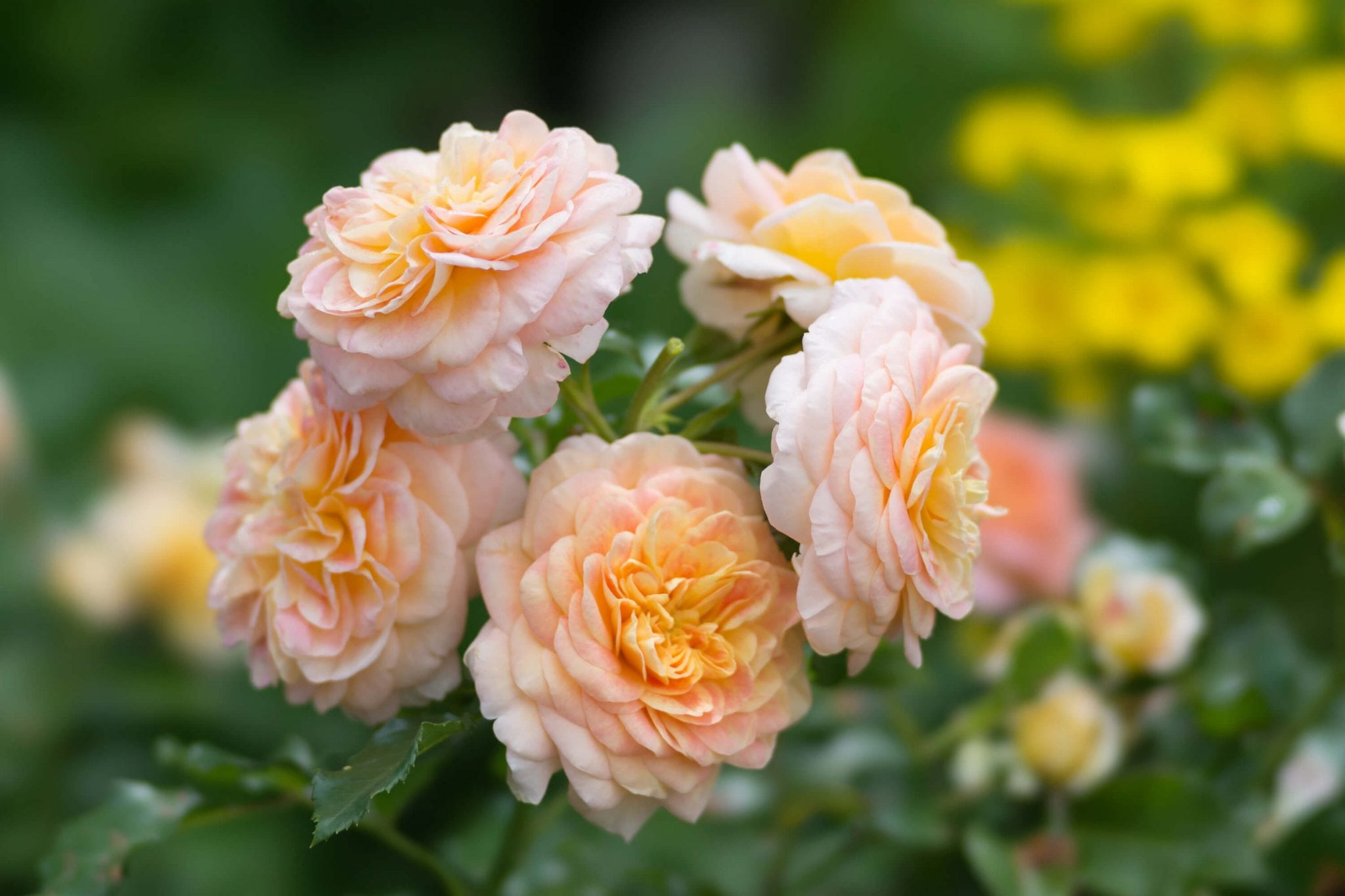 Orange Floribunda Rose