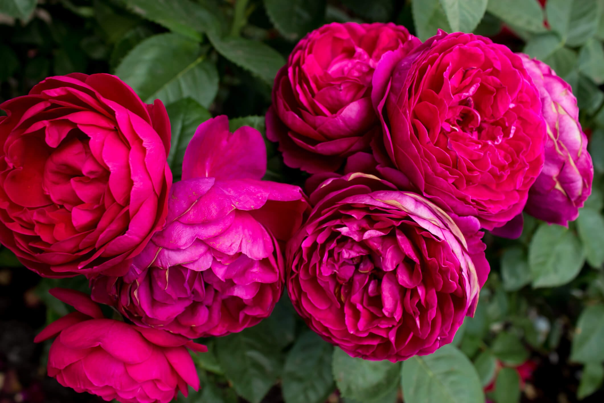Hybrid Tea Rose Ascot