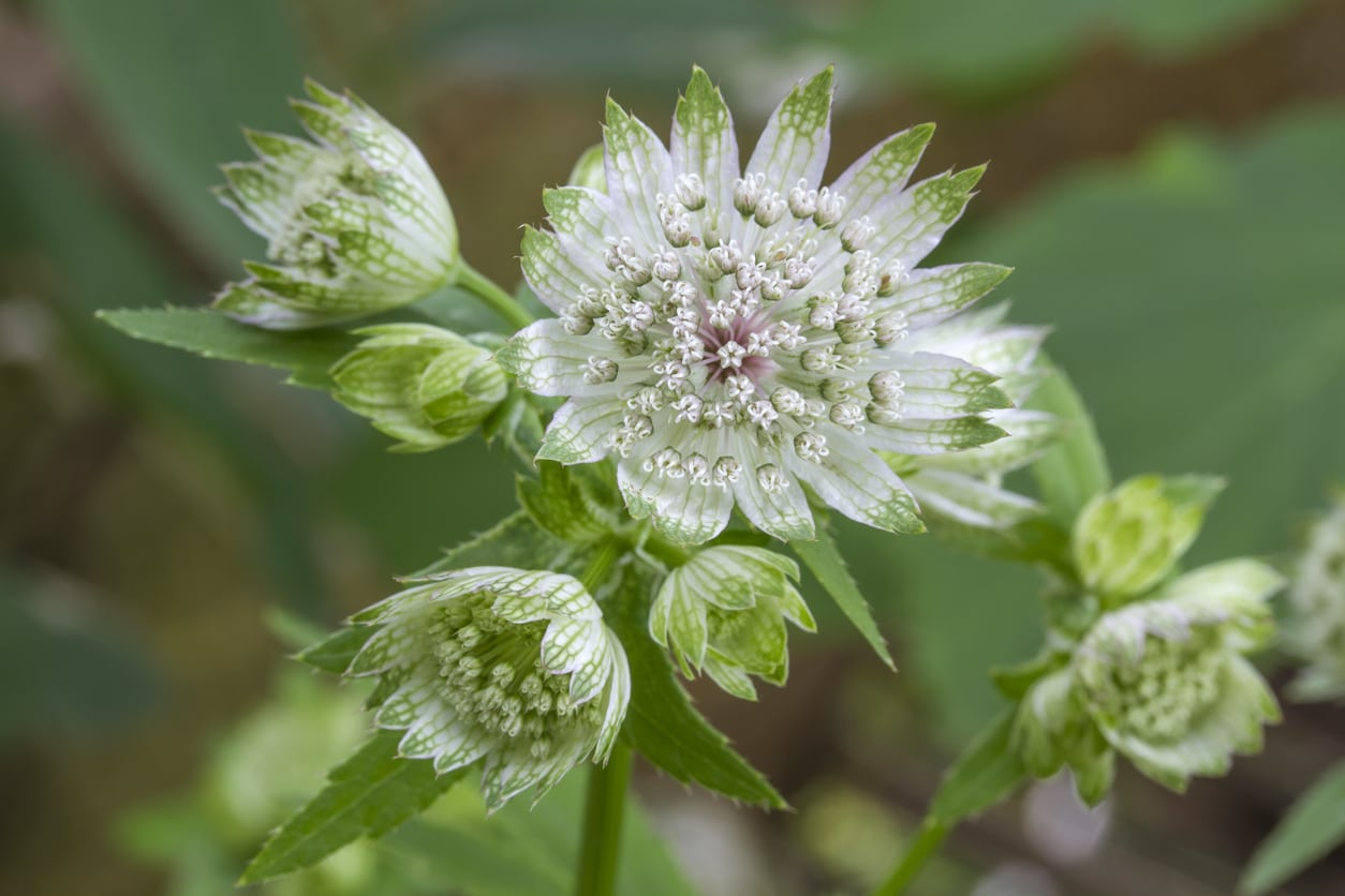 Astrantia major perennial