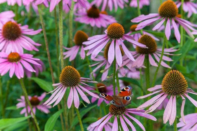 Echinacea purpurea perennial