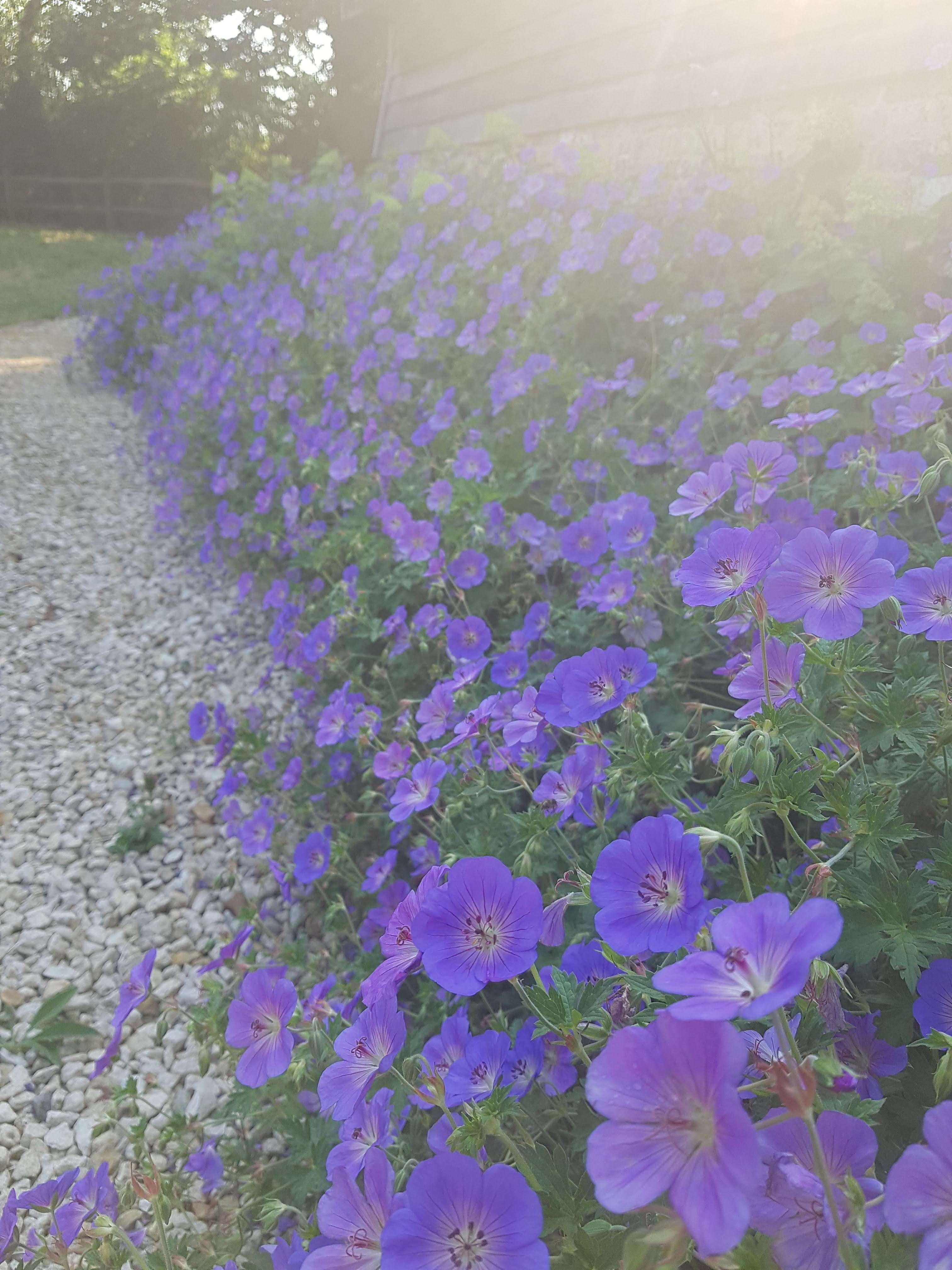 Geranium Perennial
