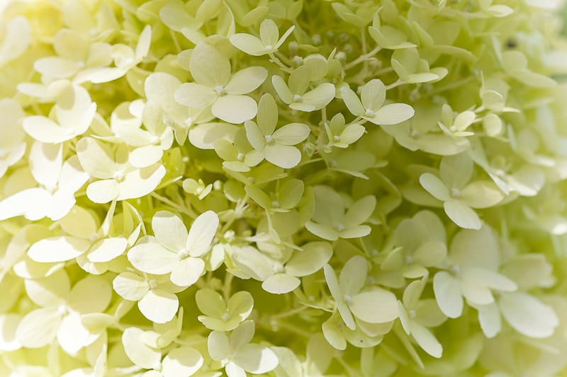 Hydrangea arborescens perennial