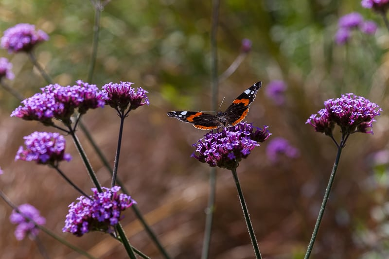 Verbena bonariensis perennial with a butterfly
