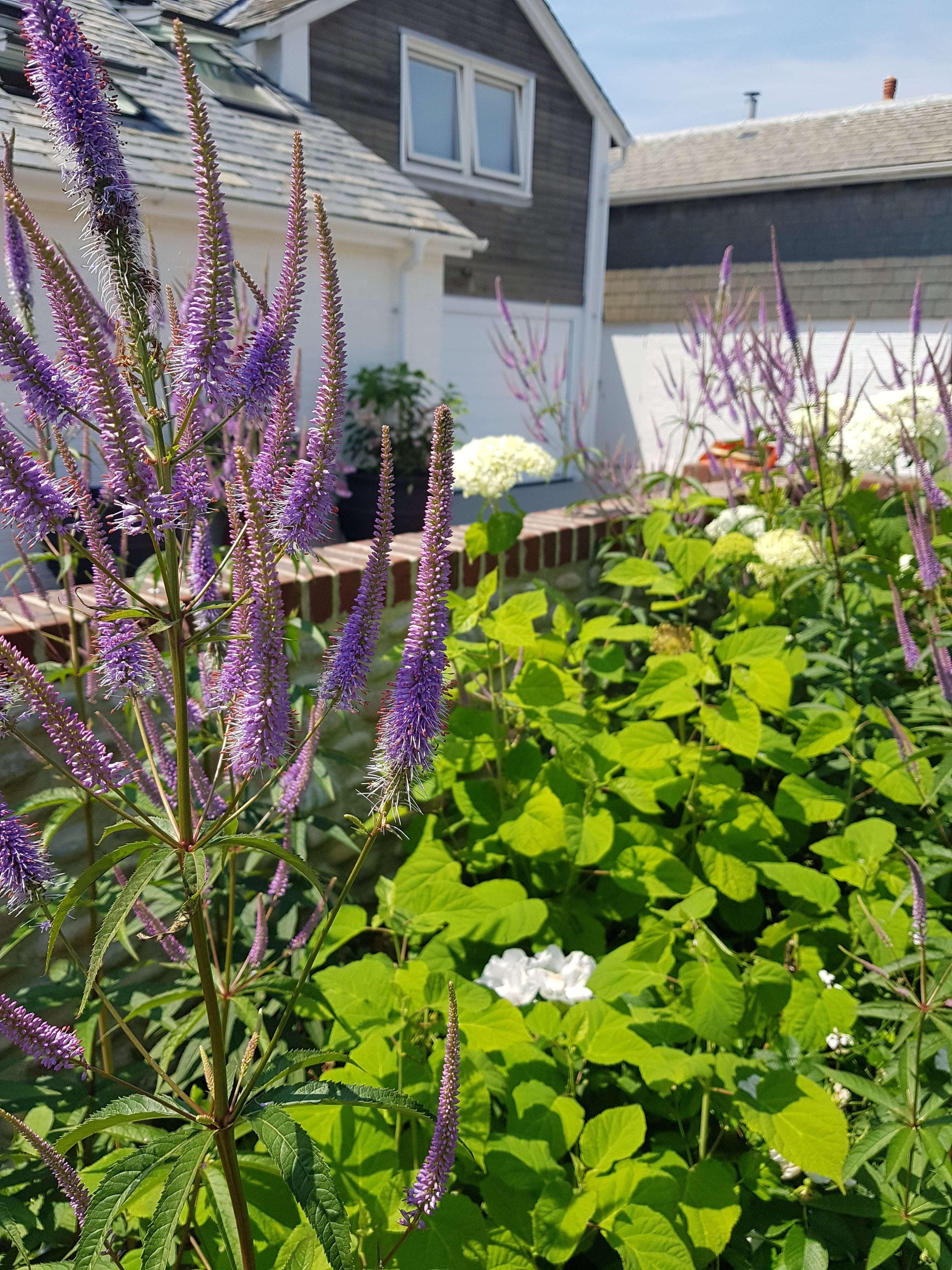 Veronicastrum Perennial
